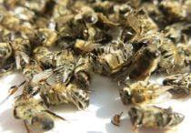 Пчелиный подмор — рецепты мази, отвара и примочек для суставов