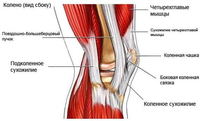 Расположение сухожилий в колене