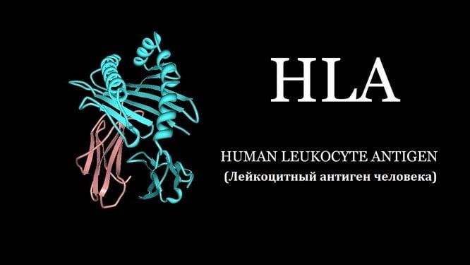 Антиген HLA