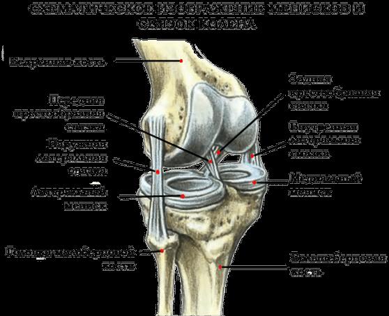 Мениски и связки колена