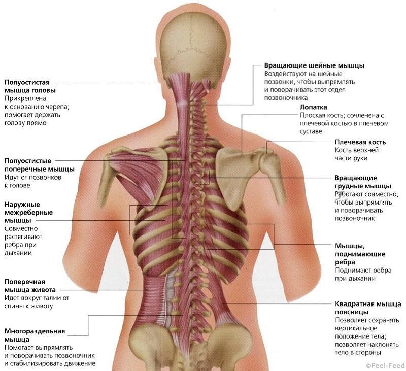 Боли в середине спины слева от позвоночника, боль в лопатке, зарядка по шишонину