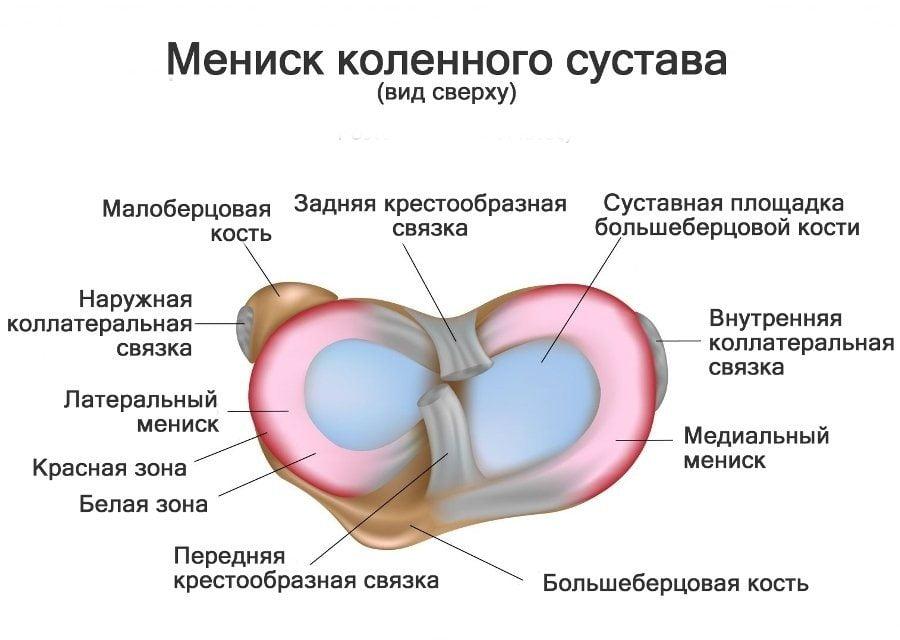 Изображение - Менископатия коленного сустава 01-stroenie-meniska