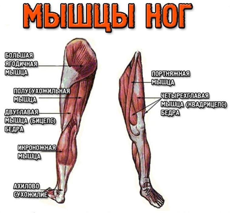 которой расположение мышц на ногах человека схема бесконечное число 'хочунчиков'